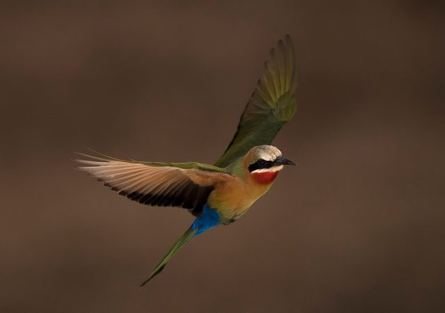_CS54113_Bee-Eater hide